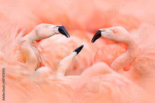 Flaningo fight. American flamingo, Phoenicopterus rubernice, pink big bird, dancing in water, animal in the nature habitat, Cuba, Caribbean. Wildlife scene from nature. Flock of  birds.