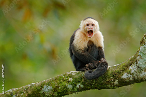 Fototapeta White-headed Capuchin, black monkey sitting on tree branch in the dark tropic forest