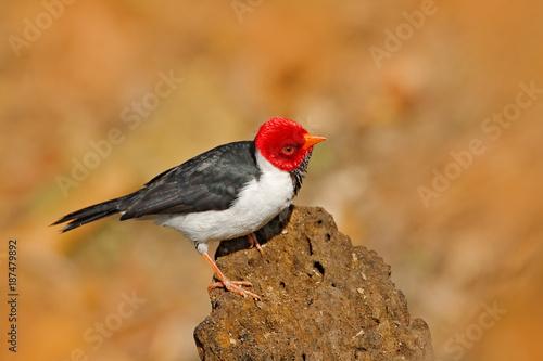 Fotografija  Yellow-billed Cardinal, Paroaria capitata, black and white song bird with red head, sitting on the tree trunk, in the nature habitat, Pantanal, Brazil