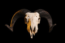 Front View Of A Ram Skull With...