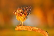 Burrowing Owl, Athene Cunicula...