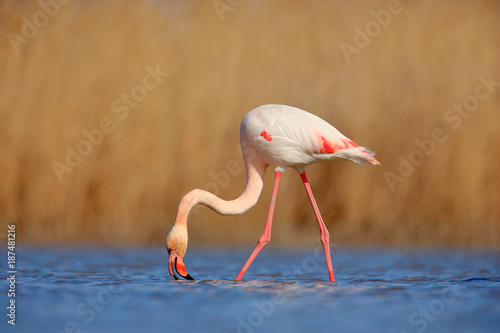 Nice pink big bird Greater Flamingo, Phoenicopterus ruber, in the water, with evening sun, Camargue, France. Wildlife scene in nature. Bird feeding in water. Animal behaviour.