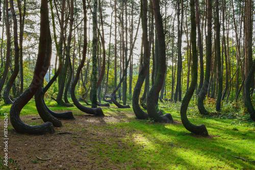 Obraz na plátne A weird curious forest in Poland.