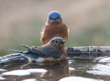 Male And Female Blue Birds On A Bird Bath