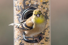 American Goldfinch In Winter P...