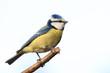 canvas print picture - Blaumeise auf Zweig schön freigestellt vor hellen Hintergrund