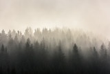 Pine Forests. Misty morning view in wet mountain area.