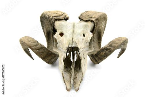 Papiers peints Hyène sheep skull on white isolated background