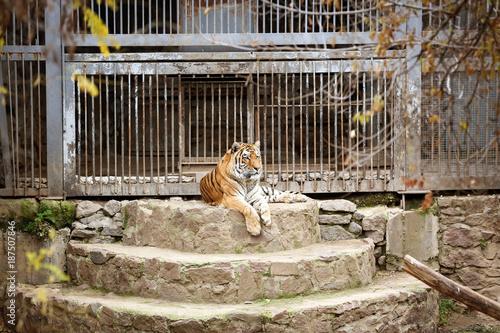 Fotografie, Obraz  Cute tiger in zoological garden