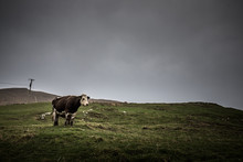 Loneley Cow In Cork, Ireland