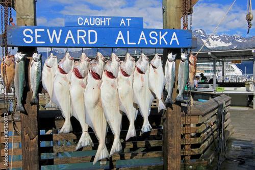 Halibuts caught at Seward Alaska were hook for weighing and showing in Seward, Alaska, USA