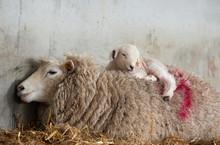 Ewe And Resting Lamb