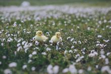 Cute Yellow Ducklings Outdoor