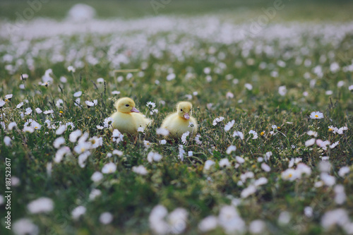 Cute yellow ducklings outdoor Poster