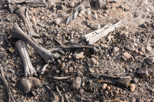 Charred Bones Of A Dead Animal...