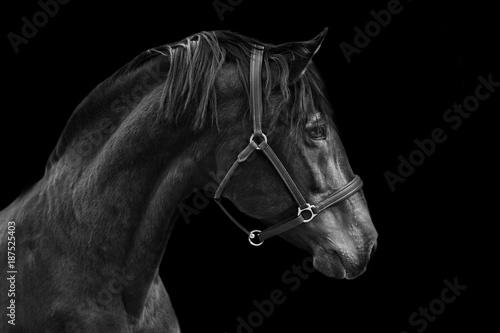 Fototapeta Portrait of a horse on a black background in Black and white obraz