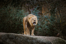 One Adult Male Lion Expresses ...