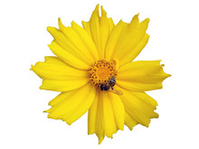 Lance-leaved Coreopsis Yellow ...