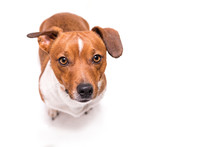 Jack Russell Terrier 3 Years O...