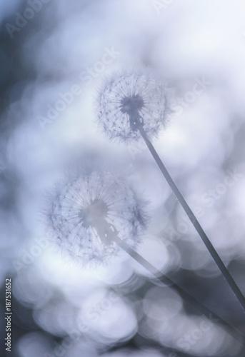 dandelions-przeciw-pieknemu-zamazanemu-niebu