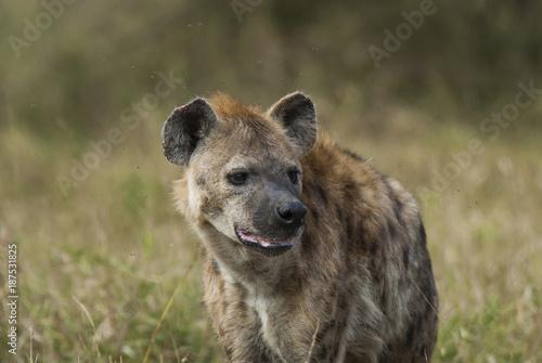Foto op Aluminium Hyena , Hyaena, Kruger