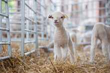 Lamb Standing In A Pen On A UK...