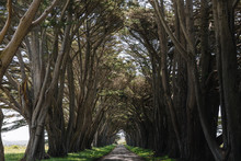 Tree Tunnel Drive In California.