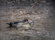 A Pair Of Wood Ducks Swimming ...