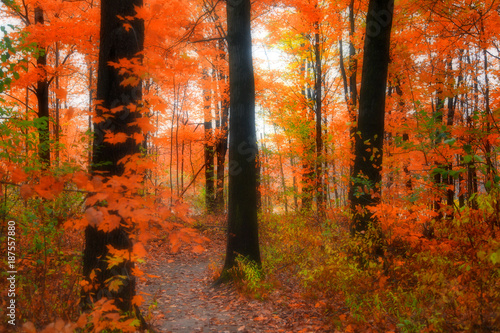 Keuken foto achterwand Rood traf. Bright color trees in Michigan during autumn time