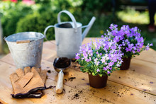 Bellflower (Campanula) Ready For Planting