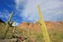 Organ Pipe And Saguaro Cactuse...