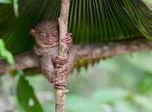 Smiling Cute Tarsier Sitting O...