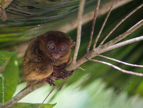Printed kitchen splashbacks Squirrel Smiling cute tarsier sitting on a tree, Bohol island, Philippines