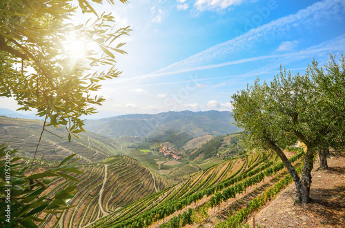 Stickers pour porte Vignoble Vineyards and olive trees in the Douro Valley near Lamego, Portugal Europe