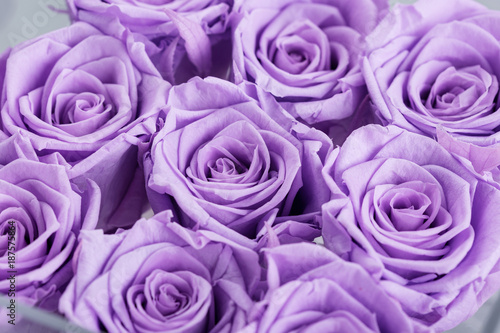 buds of lilac roses close-up