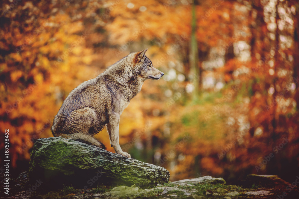 Fototapeta Wolf Sitting on the Stone in Autumn Forest.