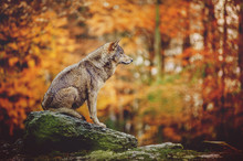 Wolf Sitting On The Stone In A...