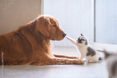 Fotografie, Obraz  The Golden retriever and the kitten