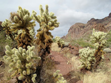 Teddy Bear Cholla Cactuses In ...
