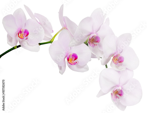 Fotografia, Obraz isolated branch with seven light pink orchid blooms