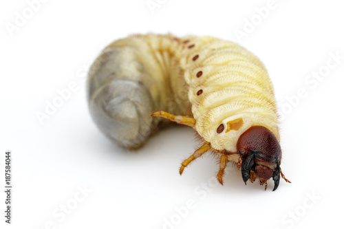 Fotografía Image of grub worms, Coconut rhinoceros beetle (Oryctes rhinoceros), Larva on white background