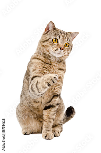 Fototapeta Playful cat Scottish Straight, sitting with a raised paw, isolated on a white ba