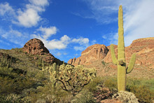 Organ Pipe, Saguaro And Ocotil...