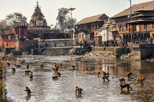 Staande foto Nepal Rhesus Macaques in Bagmati River, Pashupatinath, Kathmandu, Nepal