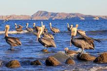 Brown Pelican, Pelecanus Occid...