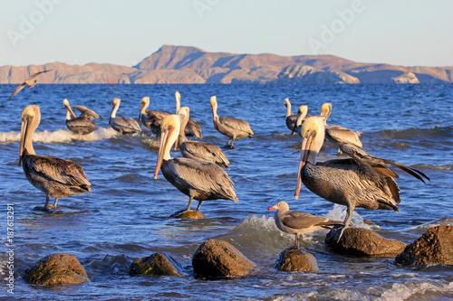 Brown pelican, Pelecanus Occidentalis, Sea Of Cortez, Baja California Mexico Canvas Print