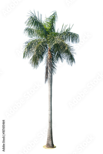 Coconut palm tree isolated on white background. Wall mural