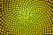 Leinwanddruck Bild - Spiral pattern in the center of beautiful sunflower close up showing neatly and methodically arrangement of nature creation in shallow depth-of-field.