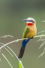 White Fronted Bee Eater In Kruger National Park, South Africa