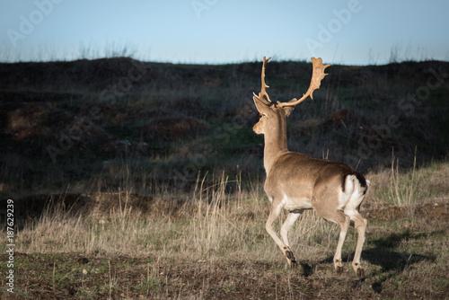 Papiers peints Arctique Male Fallow Deer